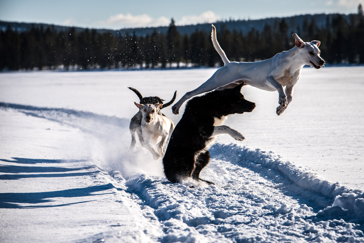 Pure Lebensfreude der Schlittenhunde