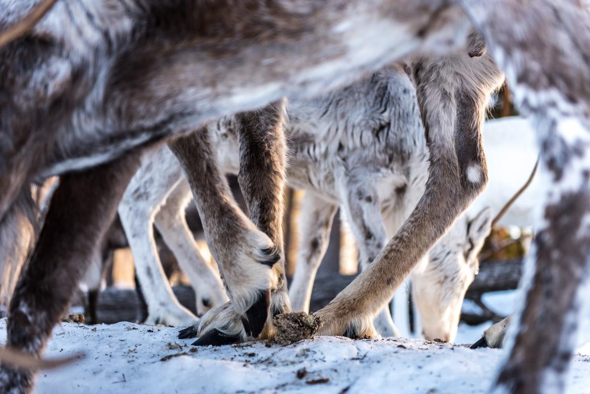 Rentierherde in Schwedisch Lappland