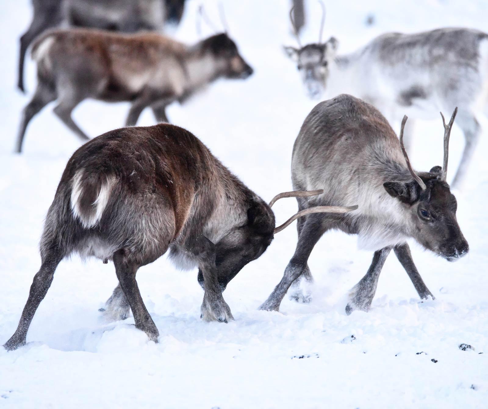 Rentiere in Schwedisch Lappland